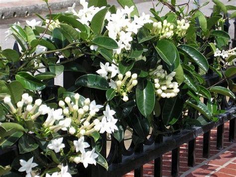 berbagai tanaman rambat berbunga bibitbungacom