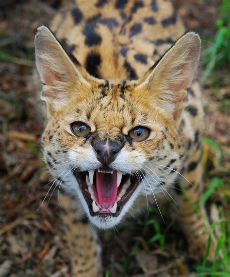 african wild cats international society for endangered cats