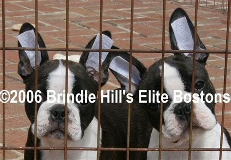 when do puppy ears stand up boston terrier when do ears stand up photo
