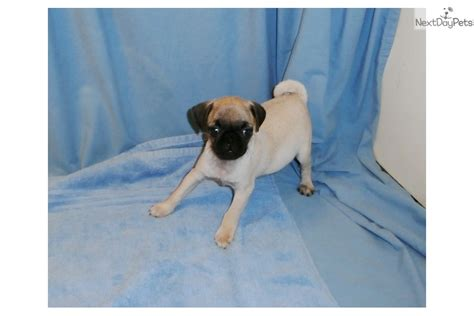 pugs for sale in nebraska pug boy pug puppy for sale near grand island nebraska fd529b40 8d41