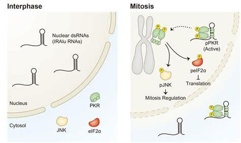 protein kinase r protein kinase r and dsrnas new regulators of mammalian