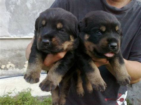 puppy rottweiler for adoption rottweiler puppies for sale adoption from selangor puchong adpost classifieds