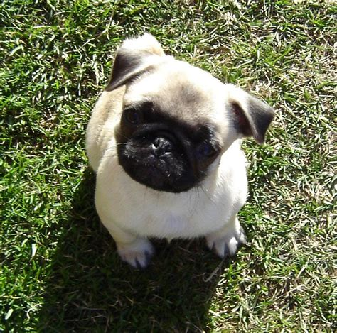 pug ouppy pug puppy puppies photo 33465683 fanpop