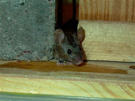 how to keep mice away how to get rid of mice in your