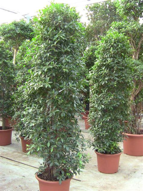 ficus nitida hedge ficus nitida zuil big plants