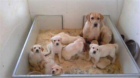 yellow lab puppies for adoption ready for adoption black and coonhound labrador retriever breeds picture