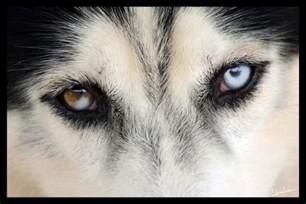 husky eye color meet wishkah the husky how do you make those animal