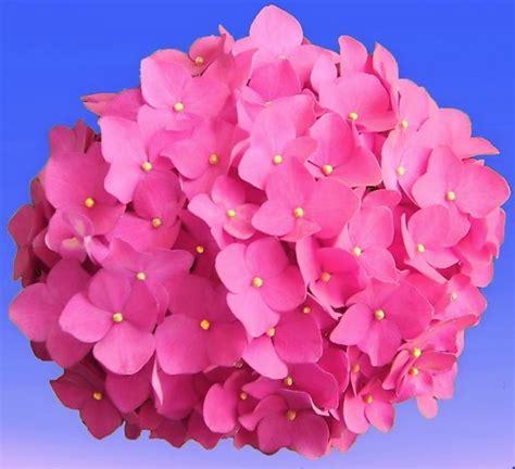 fiore ortensia ortensia piante da giardino le principali tipologie di