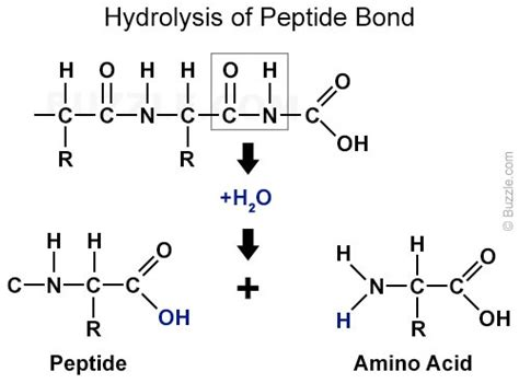 diagram of peptide bond pepsin enzyme structure function and important facts