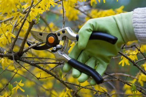 wann sträucher schneiden herbst forsythie 187 pflanzen pflegen schneiden und mehr