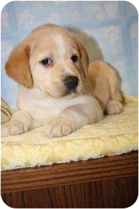 golden retriever puppies pei atlas adopted puppy hainesville il golden retriever shar pei mix