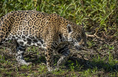 mexican jaguars donald s wall could spark a wildlife disaster