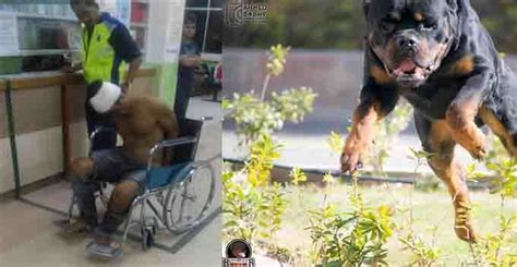 rottweiler attacks rottweiler attack owner www pixshark images galleries with a bite