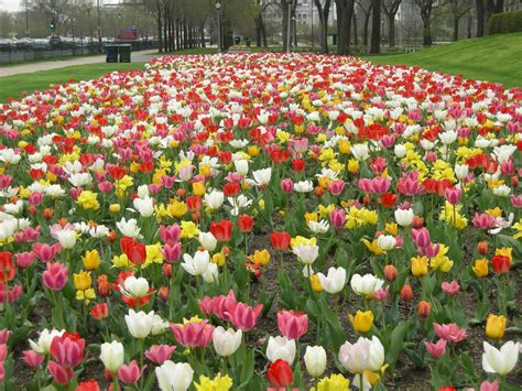 our list of tulip bulbs planting tips