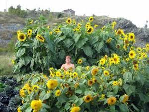 photo giant sunflowers veseys