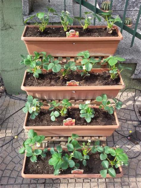 fragole in vaso sul balcone p 236 creativa orto sul balcone fragole in vaso