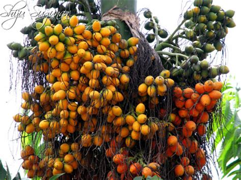 Bibit Jeruk Nipis Di Sumbar fruit warehouse betel nut areca catechu