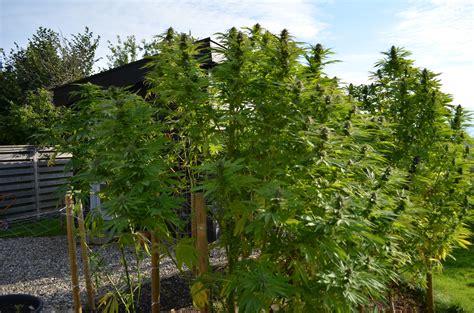 backyard grow frisian dew outdoor cannabis grow from northern uk dutch