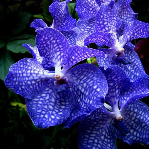 blue orchids for sale vanda orchids photograph by shirley sirois