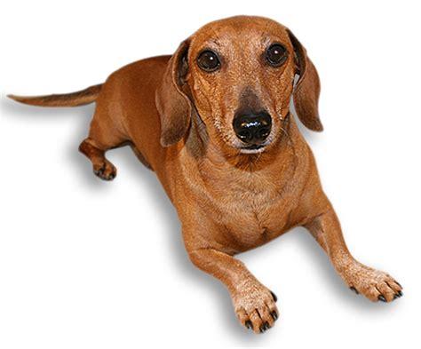 dachshund puppy rescue dachshund rescue breeds picture