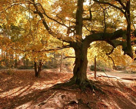 imagenes jardines otoño viejo 225 rbol en oto 241 o fondos de pantalla viejo 225 rbol en