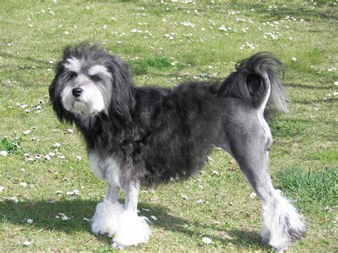 lowchen puppies lowchen puppies rescue pictures information temperament characteristics