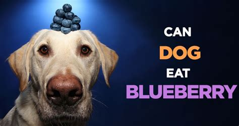 are blueberries ok for dogs can dogs eat blueberries how safe is low calorie treat
