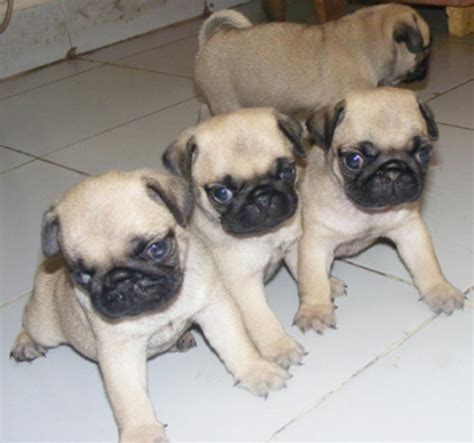 prices of pug puppies pug puppies for sale satish kumar 1 4579 dogs for sale price of puppies dogspot in