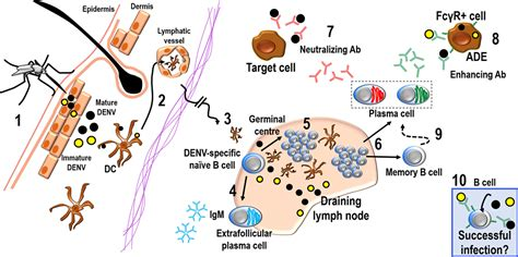 frontiers antibody targeting of steady frontiers the cellular bases of antibody responses