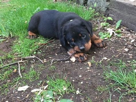 rottweilers for sale in pa best 20 rottweiler for sale ideas on rottweiler puppies for sale