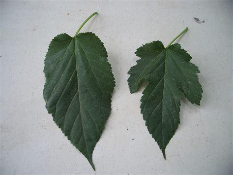 trees that please nursery mulberry tree