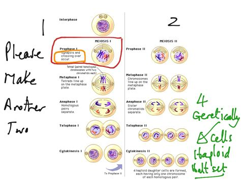 meiosis coloring worksheet answer key color of