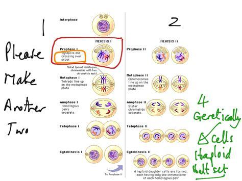 mitosis coloring sheet reading notes mitosis coloring worksheet worksheets