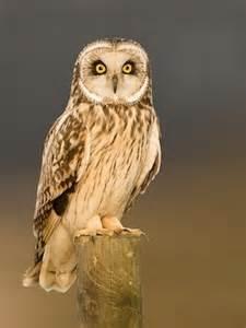 Long Barn California Short Eared Owl Identification All About Birds Cornell
