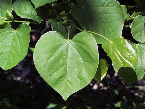isu forestry extension tree identification redbud cercis canadensis