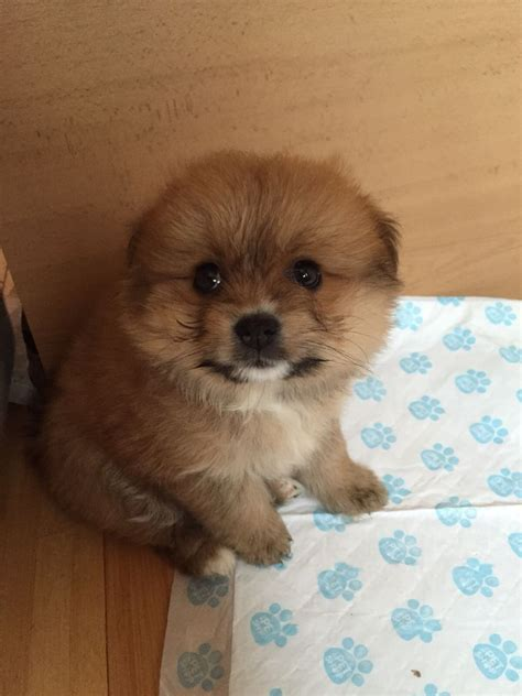 9 week pomeranian 9 week pomeranian for sale leicester leicestershire pets4homes