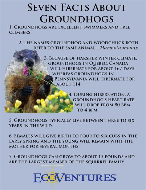 groundhog day trivia ecoventures seven awesome facts about groundhogs