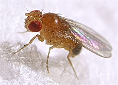 Beautiful How To Get Rid Of Gnats #9: Fruit_fly.jpg