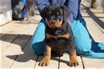 how much should a 9 month rottweiler weigh rottweiler puppies for sale from reputable breeders