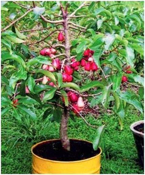 Harga Bibit Jambu Air Jamaika perawatan dan membuahkan jambu jamaika berbagai macam
