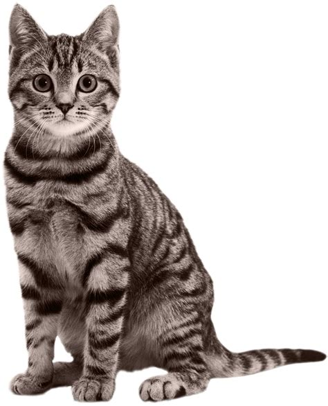 cat wallpaper graphic cat png transparent cat png images pluspng