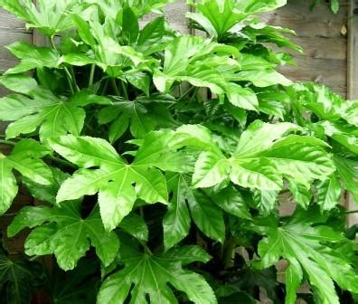 Fatsia Japonica Exterieur by Japanese Aralia Fatsia Japonica Large Plants