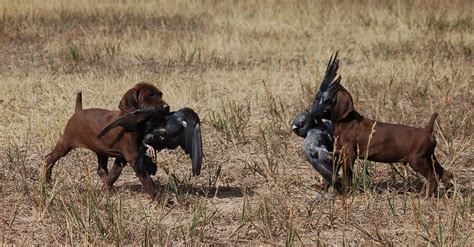 bird dogs for sale german shorthair puppies for sale best gun dogs