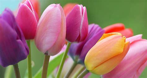 la tulipe image gallery tulipes