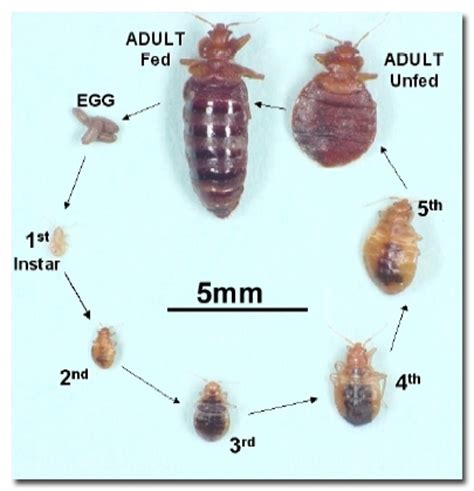 do bed bugs only come out at night bed bug life cycle bedbug me