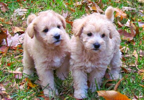 puppies virginia mini dogs that don t shed the top 14 small breeds because everybody a