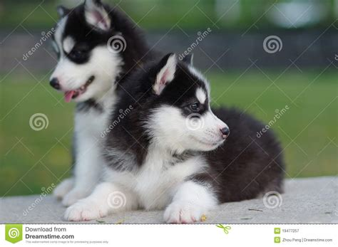 free husky puppies two husky puppies royalty free stock photography image 19477257