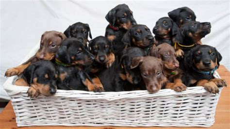 lots of puppies wow that s a lot of doberman puppies