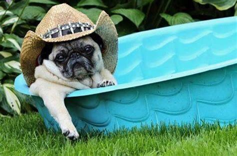 cool pug this it what pugs do to keep cool pugs best breed