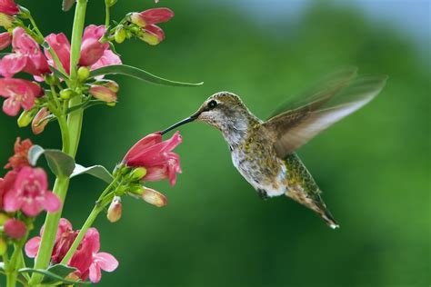 hummingbird flowers hummingbird fuscia flowers 2 jpg